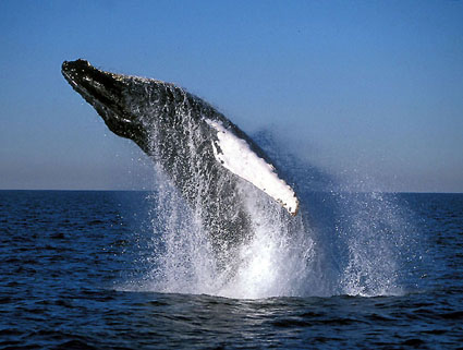 Humback Whale Battle